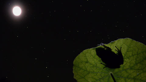 Southern timelapse silhouette frog Footage