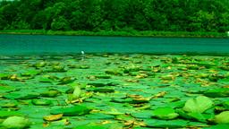 Egret on lotus leaf, hunting Footage