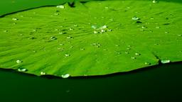 Water Drops On The Lotus Leaf (Nelumbo Nucifera)Floating On Pond. Lotus Effect Footage