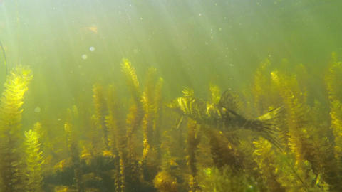 Pike staying in water-milfoil vegetation Footage