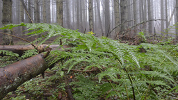 Dolly shot over ferns on forest floor Footage