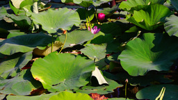 Lotus Leaves And Flowers (Nelumbo Nucifera) On Lake With Wind And Sound Footage