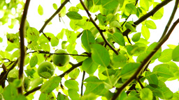 Pear Tree In August Taken With Rotating Camera. Tripod stock footage