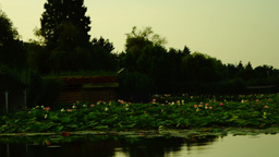 Early In The Morning On The Mirror-like Lake. Lotus Flower Footage