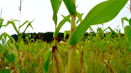 Field corn with weed. Isolated cob , tilt Footage