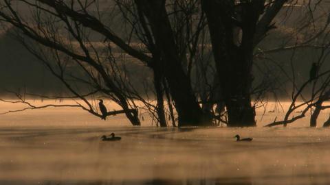Cormorants at dawn Footage
