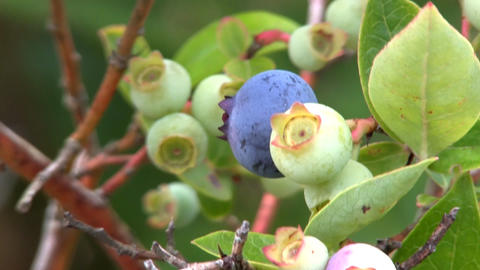 Blueberries on bush; 4 Footage