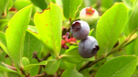 Blueberries on bush; 6 Footage