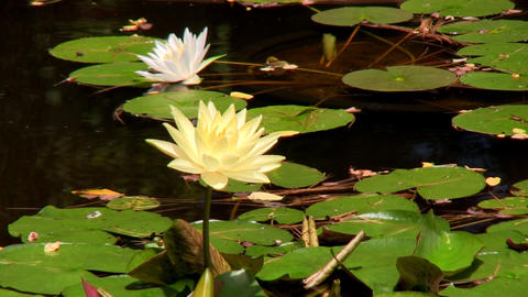 Brilliant yellow lily lotus flowers at Heritage Plantation Cape Cod Footage