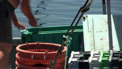 Fisherman unloading flounder from storage bins at Menemsha fishing village on Ma Footage