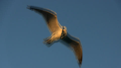 A seagull hovers over back deck of ferry boat against blue sky in late afternoon Footage