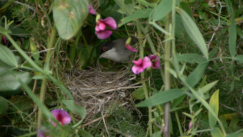 Sardinian Warbler In The Nest stock footage