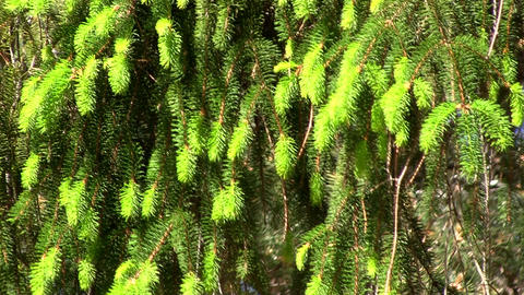 Pine Tree Growth stock footage