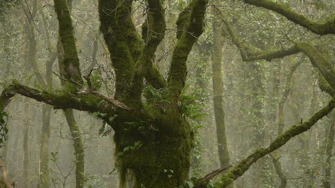 Old Oak In The Forest Of Mist stock footage