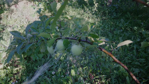 gardener watering apple tree in the garden Footage