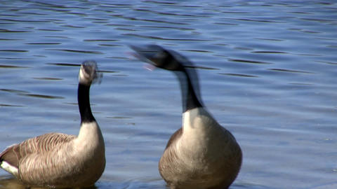 Goose call Footage