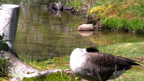 Goose cleaning Footage