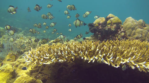Reticulated damselfish Stock Video Footage