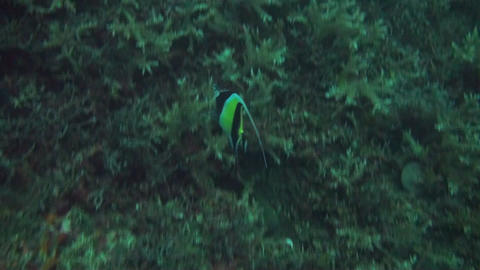 Schooling bannerfish Stock Video Footage