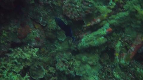 Redtooth triggerfish Stock Video Footage