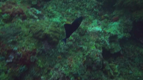 Redtooth triggerfish Stock Video Footage