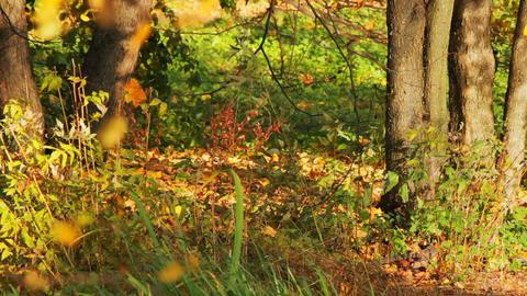 Wild autumn forest Stock Video Footage