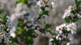 Twigs with sour cherry blossoms Footage