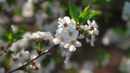 Twigs with sour cherry blossoms Stock Video Footage
