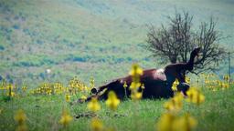 Dead cattle in meadow Stock Video Footage