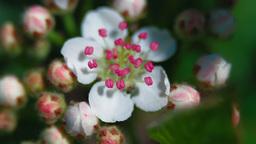 Bloom of aronia Footage