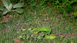 Lizard fight Stock Video Footage