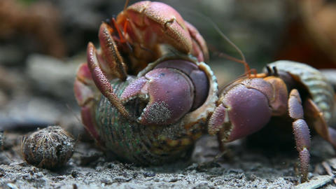Hermit crabs Stock Video Footage