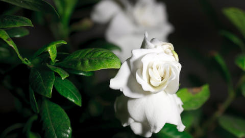 Time-lapse white gardenia opening Stock Video Footage
