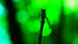 Dragonfly aerobics Footage