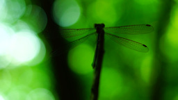Silhouette of dragonfly resting on a branch then flying and returning Footage