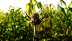 Spiny bracts and pink flower head of Silybum marianum, or Milk Thistle Footage