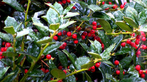 Holly berries and snow drops; 2 Footage