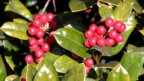 Holly berries in the sunshine Footage
