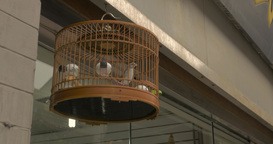 4K Bird Chirps and Jumps in Cage Live Action