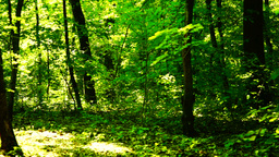 Trees in forest with bright afternoon sun and rays and sound. Fallen leaf Footage