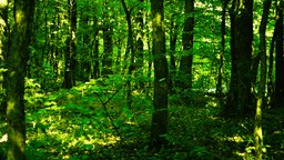 Trees in forest with bright afternoon sun , pan Footage