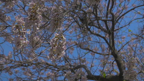 Budding Tree in Slow Motion Filmmaterial
