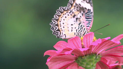 HD Footage Close Up Butterfly With Red Flower In Nature Background stock footage