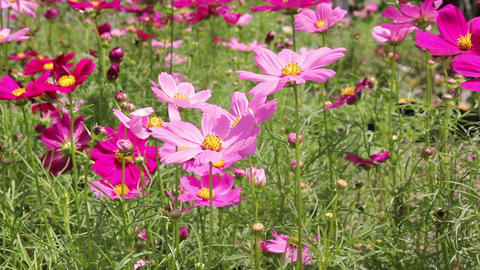 HD Footage of Beautiful cosmos flowers swaying in the breeze Footage