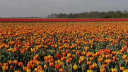 Tulip Fields In Holland, Dolly Shot stock footage