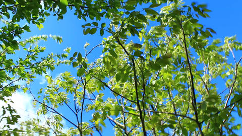 branches of walnut trees Live Action