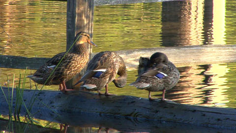 Three ducks on a log Footage