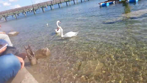 two swans eat in the lake of starnberg - bayern - germany Footage