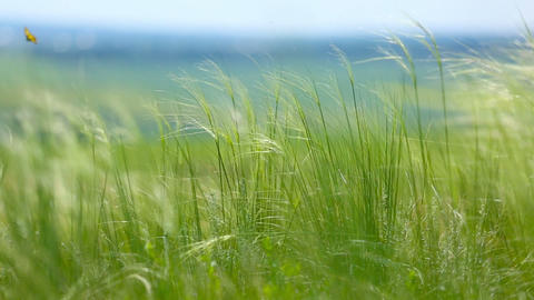 Feather Grass or Needle Grass, shallow DOF Footage