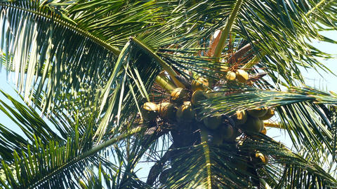 coconuts on palm closeup Footage